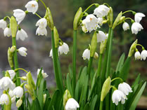 growing-leucojum